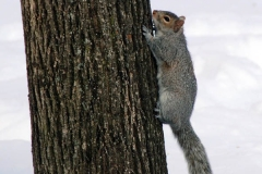 A squirrel doesn't quite know how to get thru the snow...