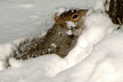 A squirrel doesn't quite know how to get thru the snow...and he falls in, being completely covered.