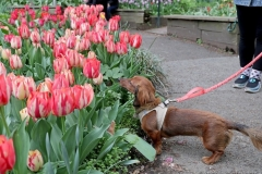 A dog stops to smell the tulips during the West Side Community Garden's 2021 Tulip Festival on West 89th Street in Manhattan NY on April 18, 2021. The annual festival features close to 100 varieties of tulips of all shapes and sizes in full bloom inside the garden on the upper west side of Manhattan. (Photo by Andrew Schwartz)
