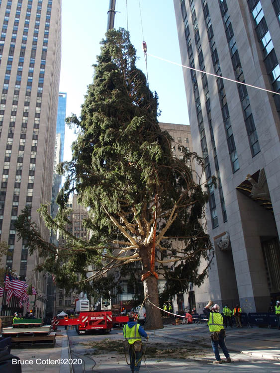 Arrival of The Rockerfeller Center Christmas Tree