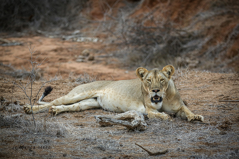 """Lioness """"Little Orphan Annie"""" Survives on Her Own in Kenya"""